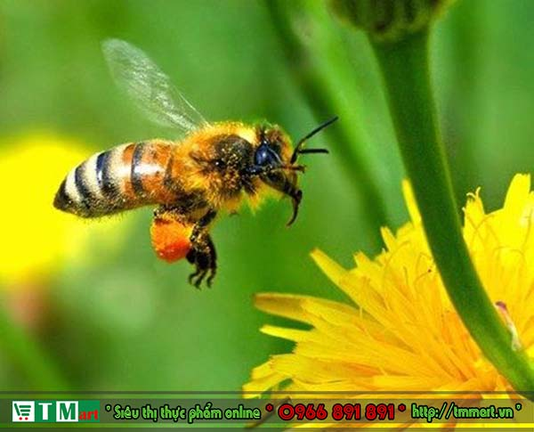 Phấn ong (phấn hoa cà phê)