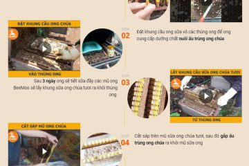 Quy trình khai thác Sữa ong chúa tươi Lâm Đồng BeeMos